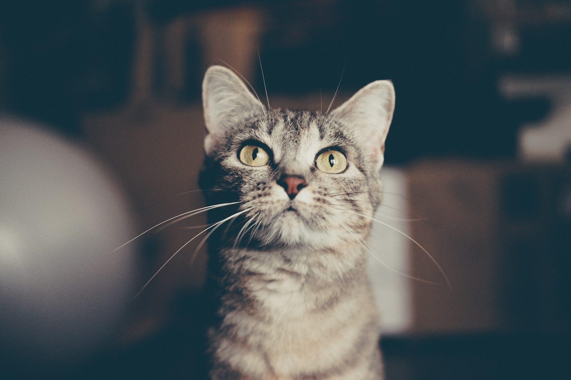 A cute gray tiger kitty with pale green eyes looking upwards.