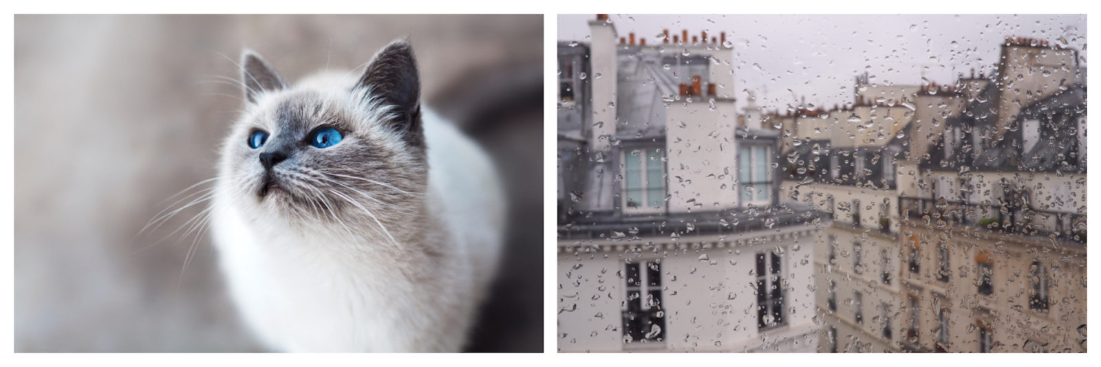 Fluffy Siamese kitty cat with blue eyes (left) and view of the rain on Paris rooftops through the window (right).