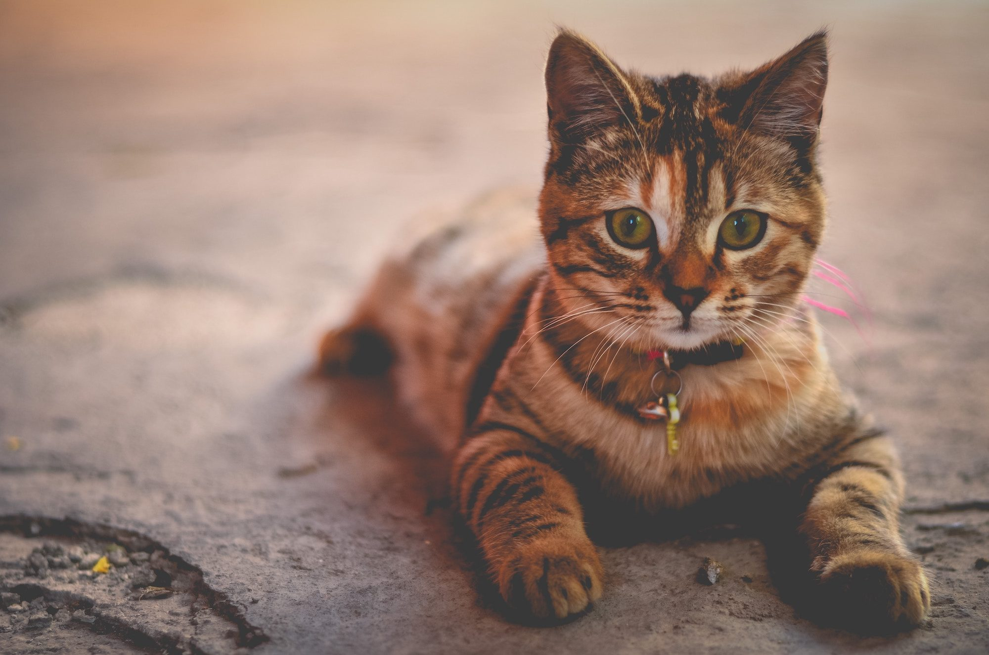 Cute striped black and brown kitten lying on the floor, looking ahead like a Sphinx