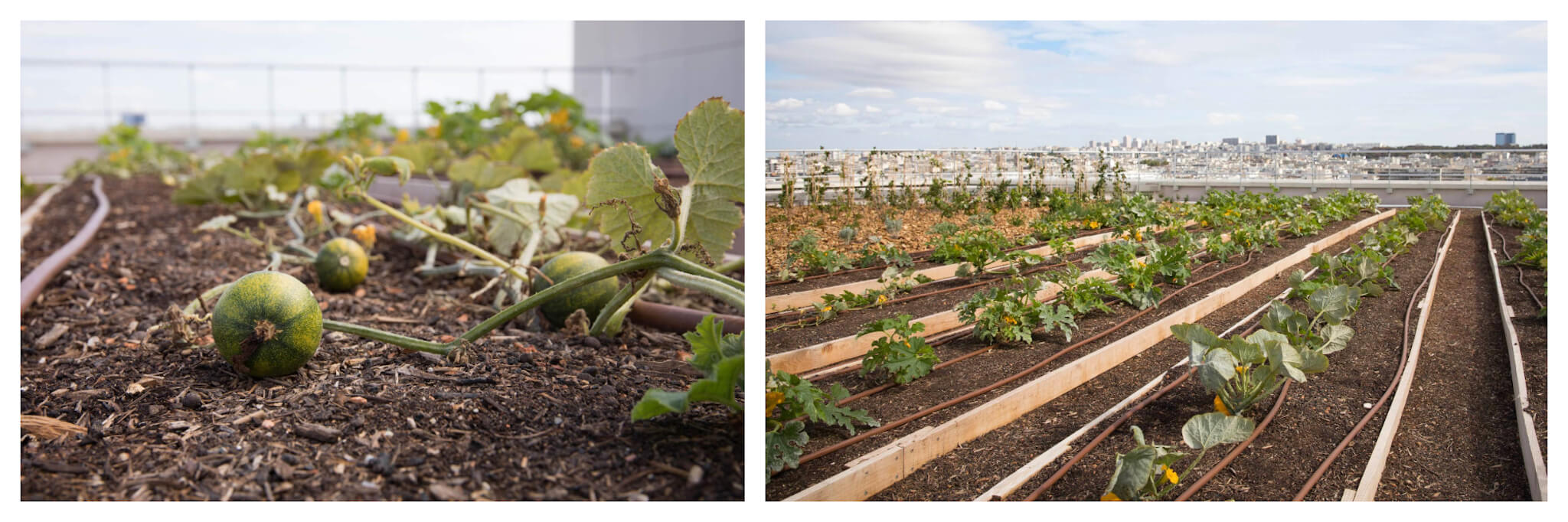 On left: Baby watermelons sit in the dirt under the sun. On right: Leafy plants stretch out in orderly rows. Both located at Agripolis, a large urban farm at the Porte de Versailles in Paris.