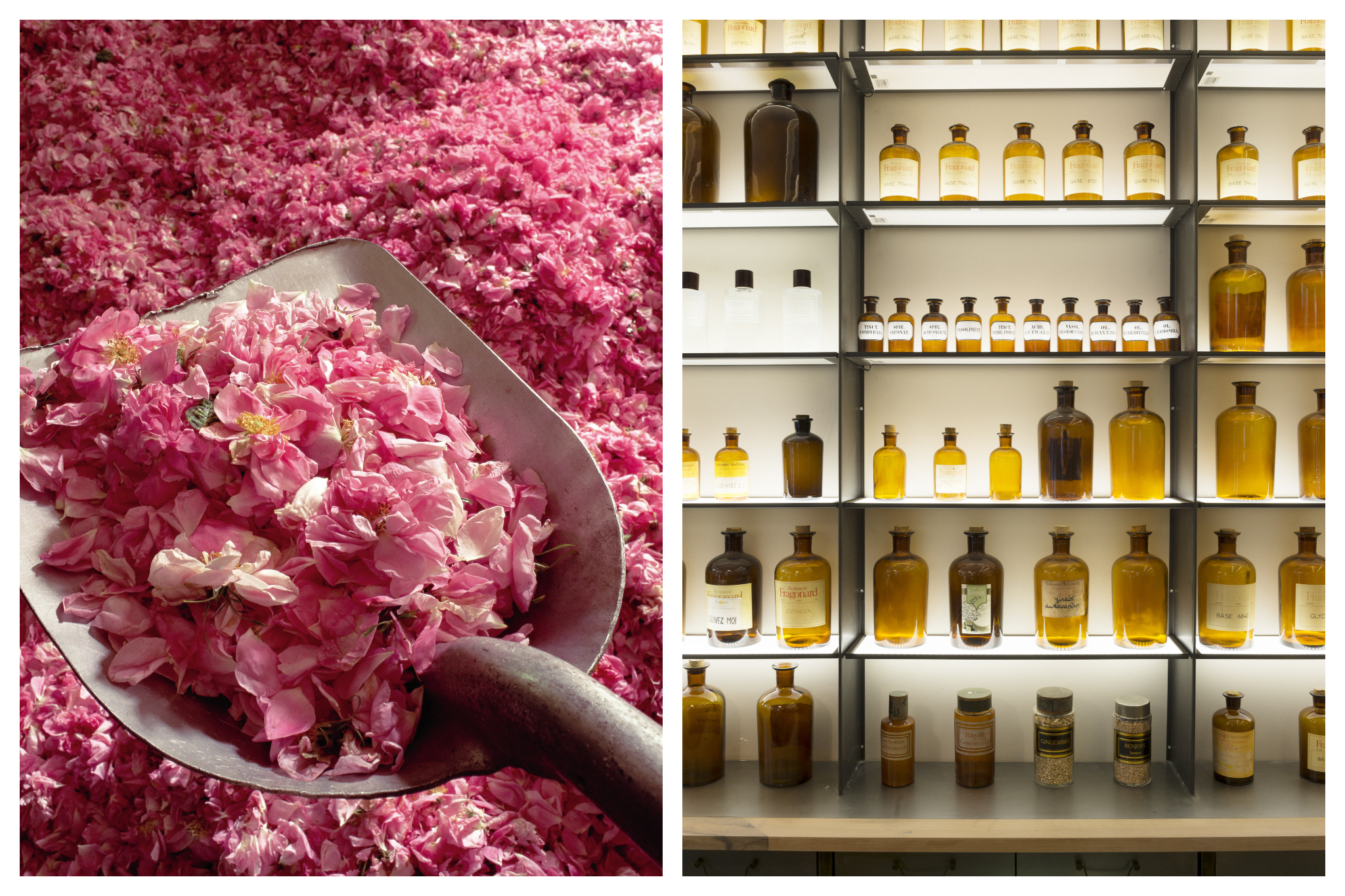 Left: A pale lifts bright pink rose petals from a pile in early May, Right: Backlit bottles of perfume line shelves in a Fragonard store in Paris