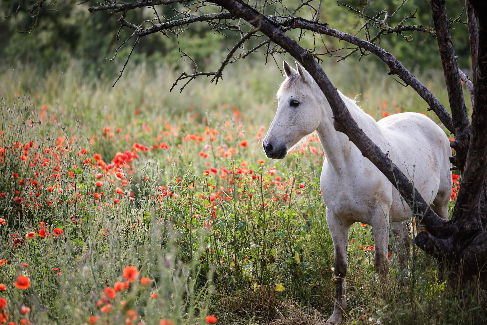 A beautiful white horse, native to the area, stands in a field of flowers in Camargue.